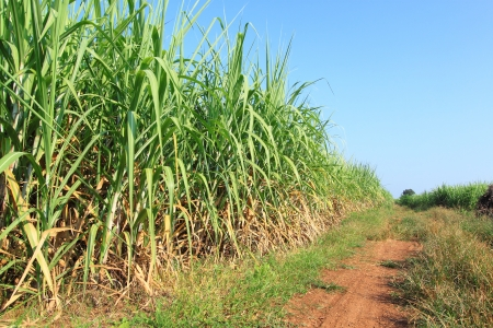Sugarcane and road to the plant  photo