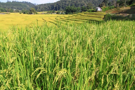 Rice field in Thailand. Stock Photo