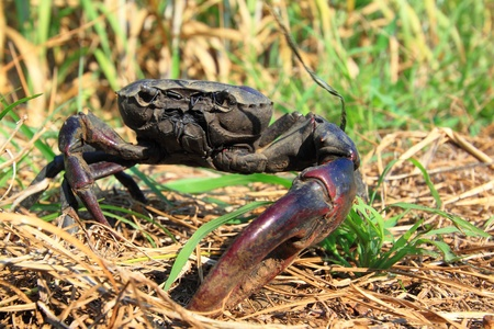 oddity: Crab