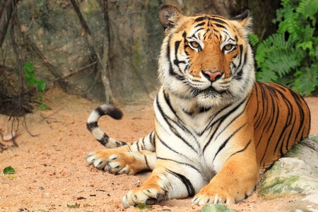 Tiger sitting Stock Photo - 11838932