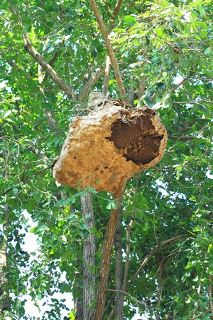Wasp nest on tree photo