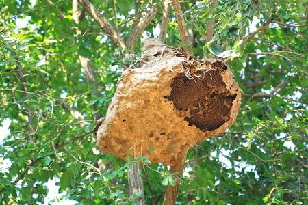 Wasp nest on tree photo