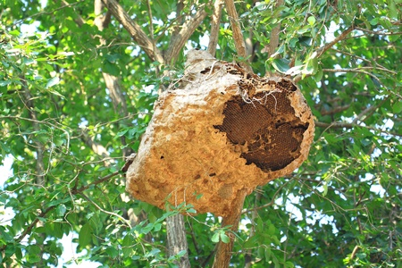 Wasp nest on tree