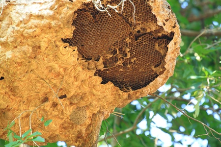 stingy: Wasp nest on tree