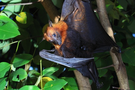 pteropus: Bat hanging on a tree branch Stock Photo