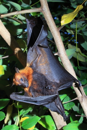 Bat hanging on a tree branch Stock Photo