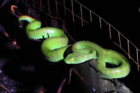 Green Tree Viper photo