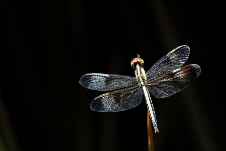 dragonfly wing: Dragonfly on dark background