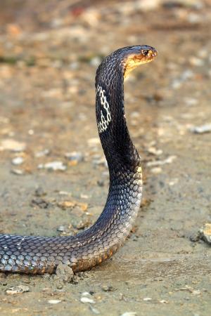 Cobra snake Stock Photo - 16594803
