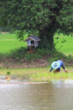 Farmer planting rice paddy Stock Photo