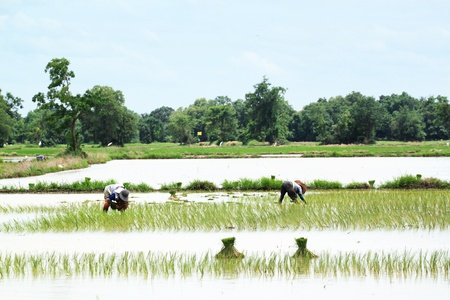 Farmers are planting rice in the rice field Stock Photo