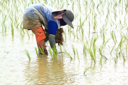 Farmer planting rice paddy photo