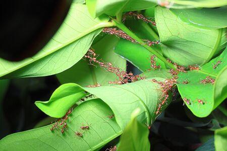 red ant: hormiga roja trabajo en equipo Foto de archivo
