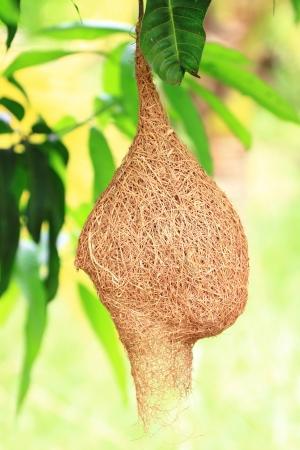 nido de pajaros: Weaver pájaro nido