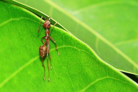 red ant: Red Ant en la hoja verde