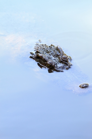 Siamese crocodile in river Stock Photo