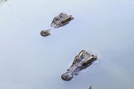 Two Crocodile Stock Photo