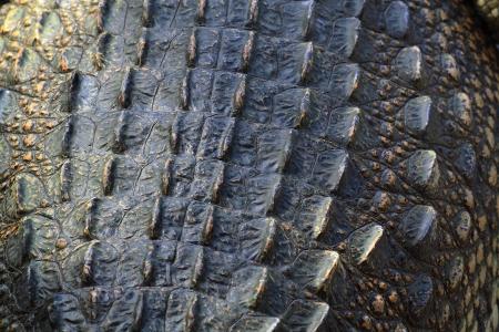 Crocodile skin Stock Photo