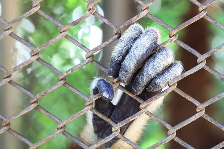 Hand White Cheeked Gibbon or Lar Gibbon photo