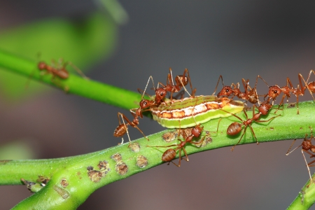 Red ant teamwork