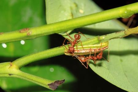red ant: Hormiga roja trabajo en equipo