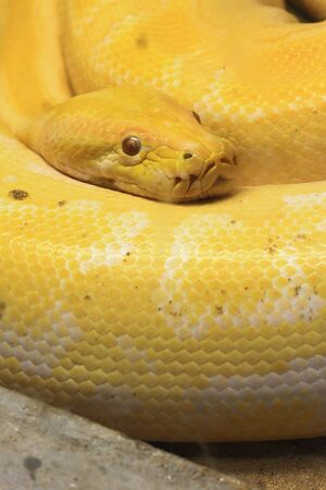 Golden Thai Python photo
