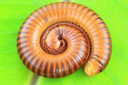 Millipede on a green leaf Stock Photo - 16682490