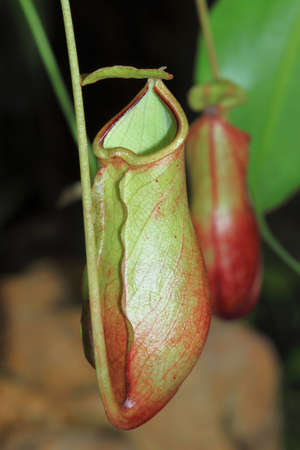 Nepenthes sanguinea Stock Photo