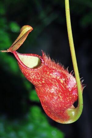 Nepenthes sanguinea Stock Photo