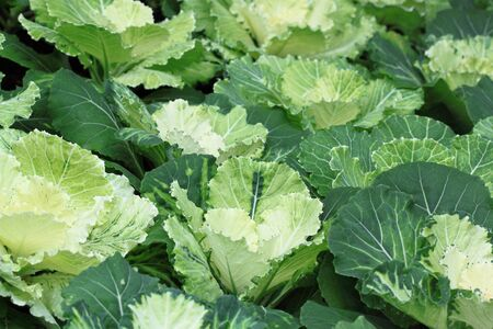 Group of cabbage