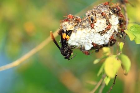 Wasp ovipositing Stock Photo