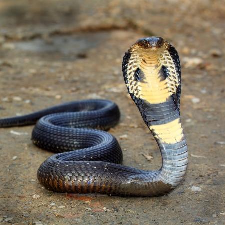 snake bite: Cobra snake