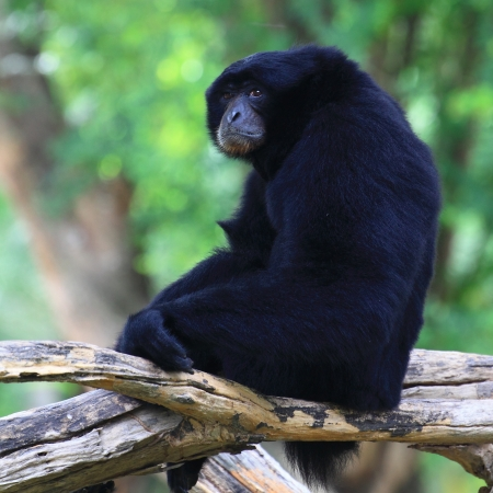 staunch: Siamang on the tree Stock Photo