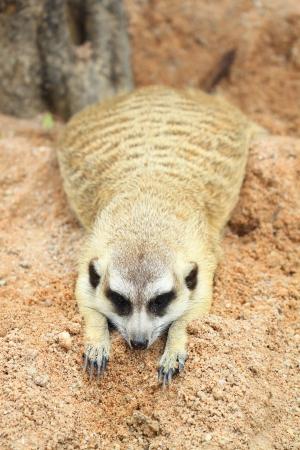 erdmaennchen: Meerkat laying on the ground  Stock Photo