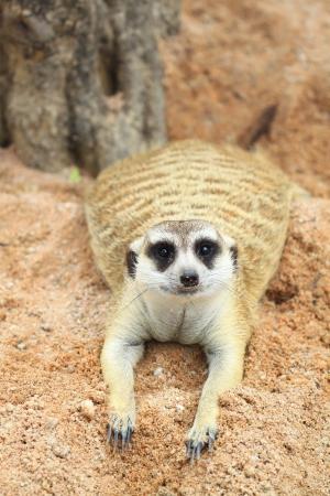 erdmaennchen: Meerkat looking