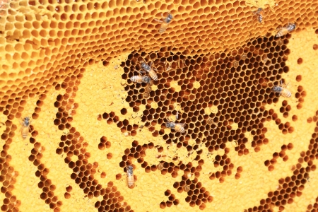 Honeybee swarm hanging