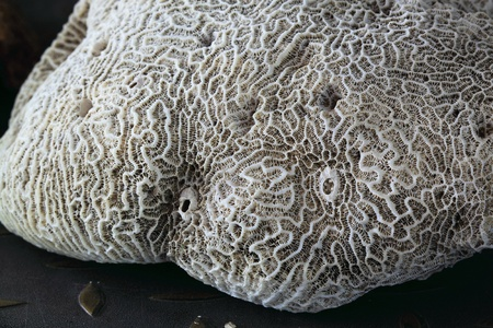 Brain coral close-up photo