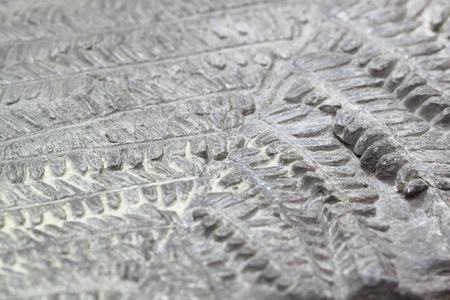 Primitive fern fossil