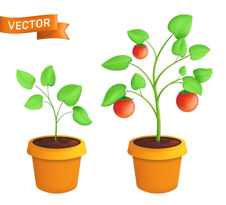 Tomato eco plant growing stages. Vector botanical illustration of green sprout with leaves in pot isolated on white background