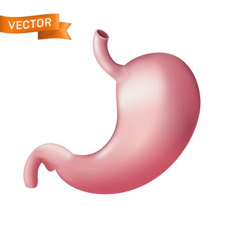 Realistic human stomach anatomical body part. Vector illustration of internal digestion organ system isolated on white background