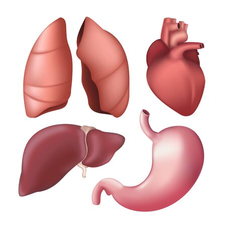 Set of realistic human internal organs - lungs, liver, heart, stomach. Vector illustration of different anatomical body parts isolated on white background
