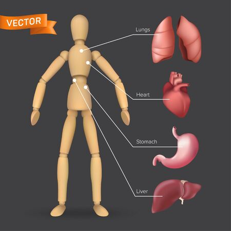 Infographic with human internal organs: heart, stomach, liver, lungs placed on a male or female wooden mannequin silhouette. Vector illustration of body anatomy with a dummy on a dark background