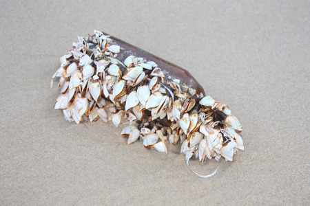 goose barnacles on the glass bottle. cluster of mussels barnacles on a piece of bottle in the sand at sea beach Stock Photo
