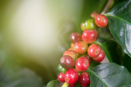 Arabica coffee plant in agriculture farm.Coffee beans ripening on tree in North of thailand.Group of ripe and raw coffee berries on coffee tree branch Stok Fotoğraf - 85844968