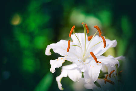 Lily Flowers Blooming In The Garden. Stock Photo