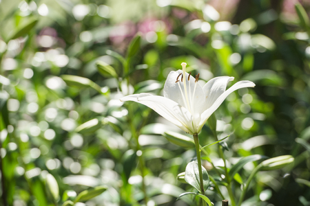 White lily. Close up of an oriental tiger lilly. Beautiful giant white lily flower close-up with green foliage at the background. Big white lily close-up on a background of green leaves top view. Stock Photo
