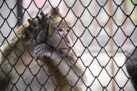 poor sad monkey behind cage in zoo.loneliness monkey in the cage
