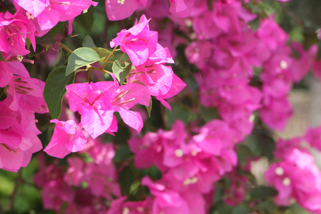 blooming bougainvillea flowers.Pink flowers in garden as a background. floral background