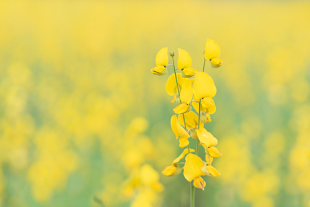 Yellow flower of Sunn hemp, Indian hemp flower field, Madras hemp or Crotalaria juncea is a tropical Asian plant used for green manure forage, organic soil building and cover crop applications