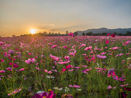 Flower field in summer.Scenery view of beautiful cosmos flower field in morning.Pink flowers field landscape